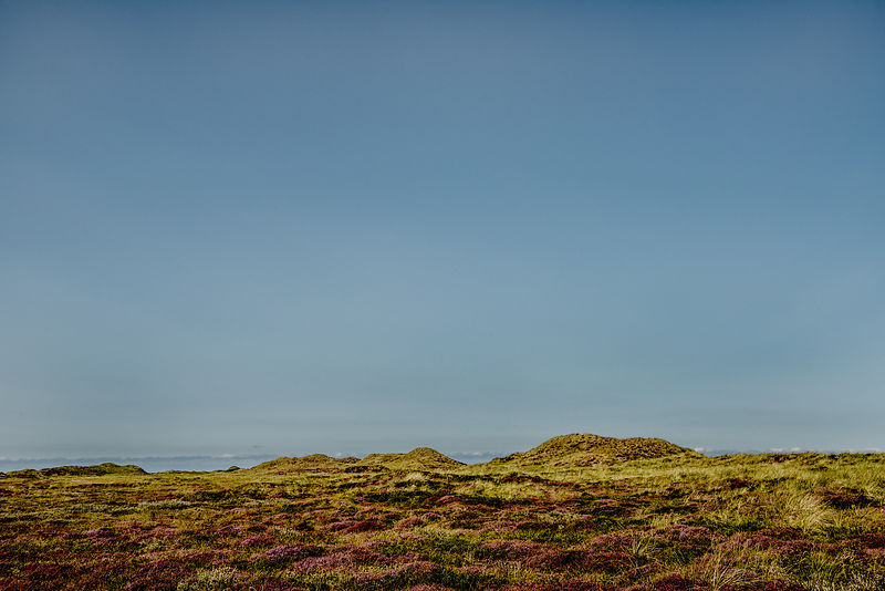 Heather on the dunes in Thy 2