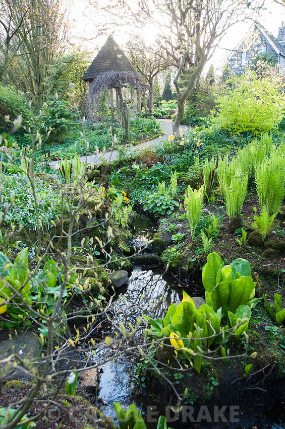 The Dell, full of new fronds of the shuttlecock fern, Matteucia struthiopteris, and other moisture lovers including marsh marigolds and skunk cabbage, Lysichiton americanus. York Gate Garden, Adel, Leeds, Yorkshire