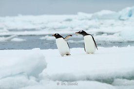 Two gentoo penguin found on glacier around the Antarctic Peninsula.