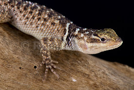 Blue spiny lizard, Sceloporus serrifer cyanogenys