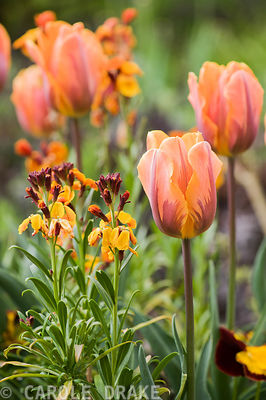 Tulipa 'Prinses Irene' with wallflowers.