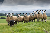 Blue Faced Leicester sheep in pasture on the edge of the English Lake District, Cumbria, UK.