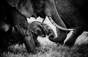 8303-Baby_elephant_under_the_legs_of_an_adult_Laurent_Baheux