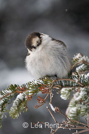 Gray Jay (Perisoreus canadensis) perched on a branch during a snowstorm on Hurricane Ridge, Olympic National Park, Olympic Peninsula, Washington, USA, March, 2009_WA_8128