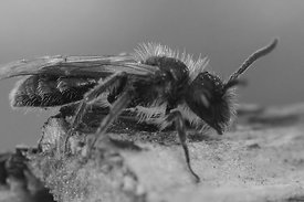 Andrena minutula group, male