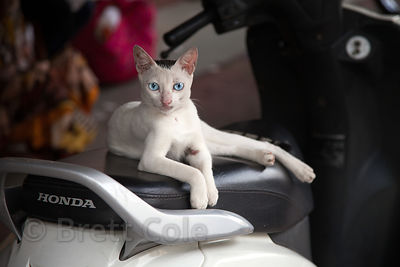 A beautiful blue-eyed stray cat, with what looks to be Egyptian bloodlines, rests on a scooter seat near Churchgate train station in Mumbai, India.
