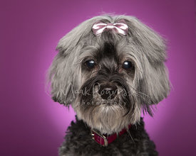 Grey Schnauzer Mix Dog Close-up Against Purple Background