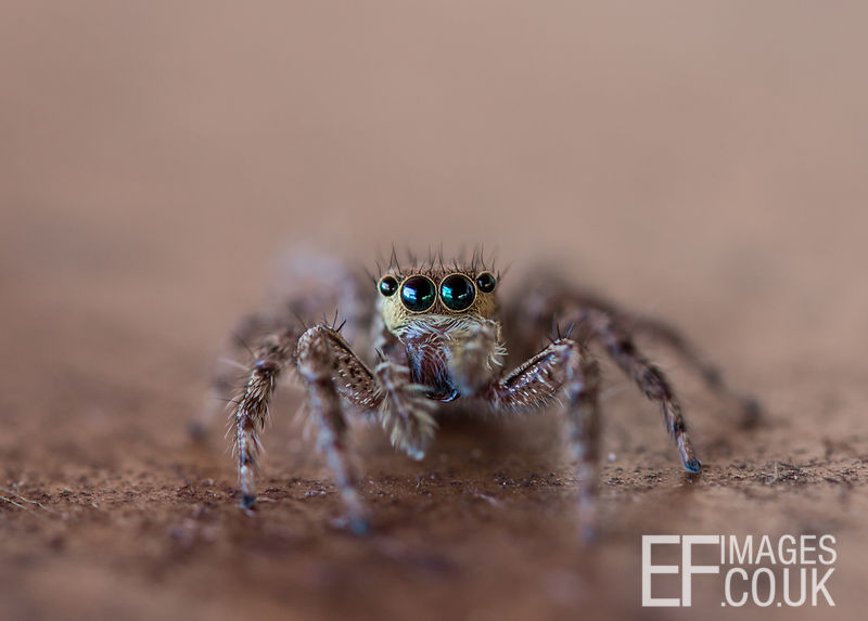 Jumping Spider, Salticidae