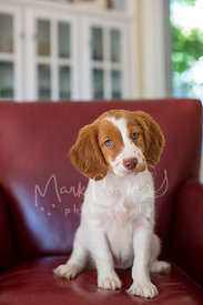 Brown and white puppy sitting in a red leather chair