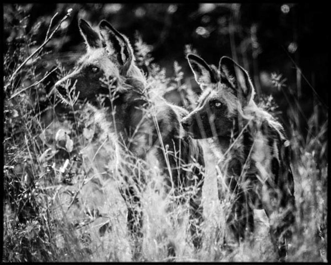 1299-Wild_dog_in_the_grass_Bostwana_2009_Laurent_Baheux