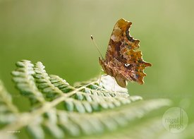 Female Comma Butterfly: