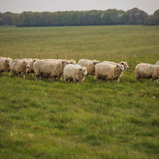 Sheep in field near Stonehenge prehistoric monument,  Wiltshire, England, United Kingdom