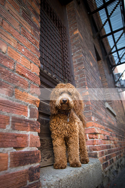 serious red doodle dog posing at wood door of brick wall in urban alley