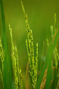 Close up of crop showing ear of Rice plant Uganda Africa