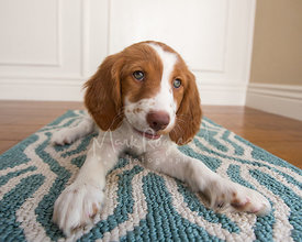 Brittany Spaniel puppy tilting head  on blue and white rug