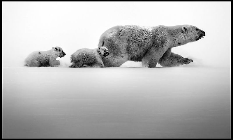 1153-Polar_bear_with_cubs_Baffin_Island_Canada_2016_Laurent_Baheux