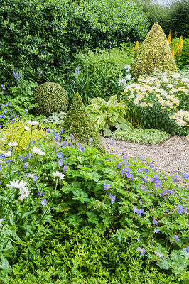 The Vean Garden is predominantly white, blue and gold, with clipped box and golden privet surrounded by lush perennials such as Leucanthemum x superbum 'Goldrausch', hardy geraniums, ligularias, variegated comfrey and phlox and silvery Brunnera macrophylla 'Jack Frost'. Bosvigo, Truro, Cornwall, UK