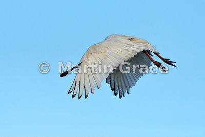 African Spoonbill (Platalea alba) in flight, River Chobe, Botswana: Image 1 of 3 to show the wings of the male in different positions