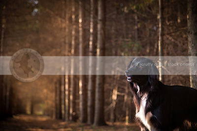 portrait of dog standing at attention in forest of pine trees