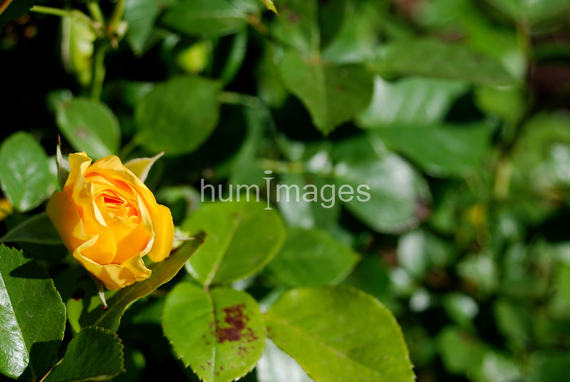 One yellow rose (left side of image)