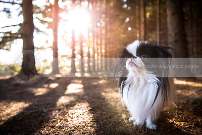 proud longhaired japanese chin dog standing in forest