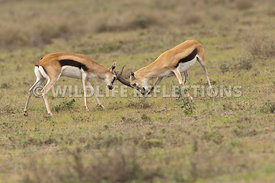 thomsons_gazelle_battle_37