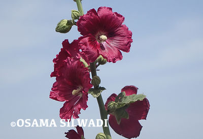 The Wildflowers of Palestine - Alcea Setosa
