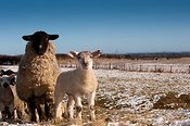 Suffolk cross ewe with texel lamb at foot in late spring snow. Co. Durham