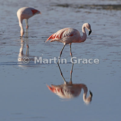 Chilean Flamingo (Phoenicopterus chilensis) in the salt flats of Sector Soncor, Reserva Nacional los Flamencos, Salar de Atacama, Chile