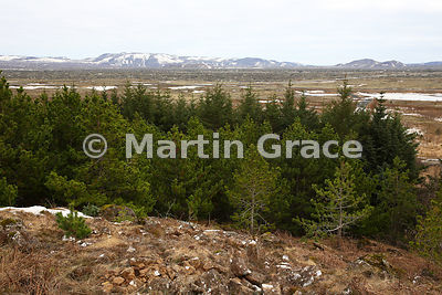 Solbrekkuskogur woods - a recreational area of planted trees, principally Sitka Spruce, Reykjanes Peninsula, Iceland