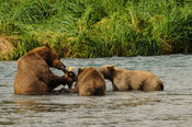 Grizzly Eating Salmon Alaska