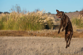 Chocolate lab jumping into the air with tennis ball in mouth