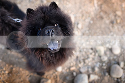 hairy black chow dog looking up from sand and stones