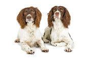 Springer Spaniels with pheasant
