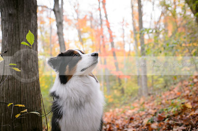 portrait of australian shepherd tricolor dog in colorful autumn setting