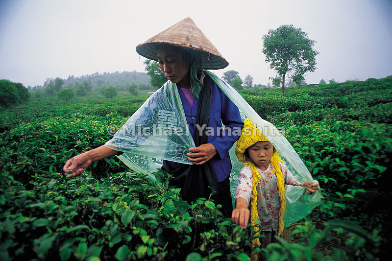 """Tea: the green gold of China."" Woman and girl harvesting pekoe, the tender tea leaves, in Yunnan."