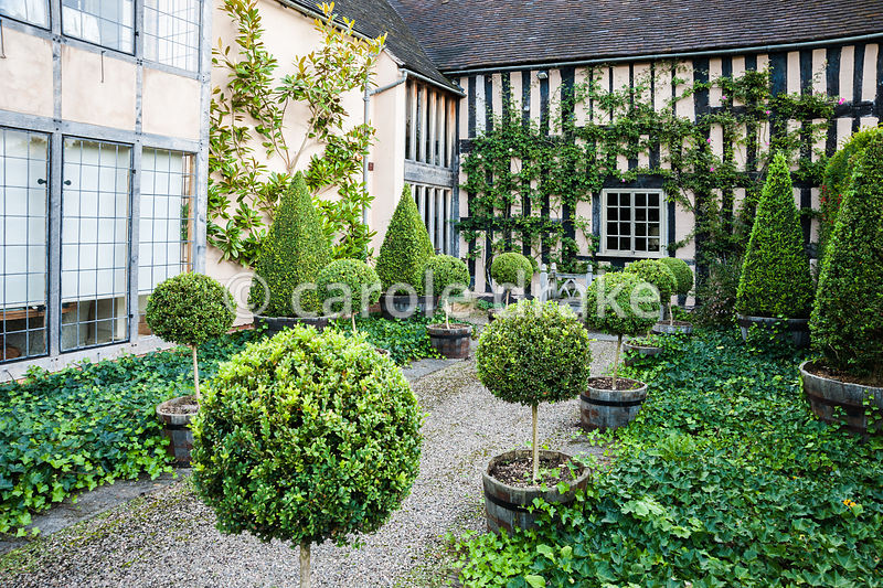 Courtyard beside C16th house with clipped box topiary and ground cover ivy. Wollerton Old Hall, nr Market Drayton, Shropshire, UK