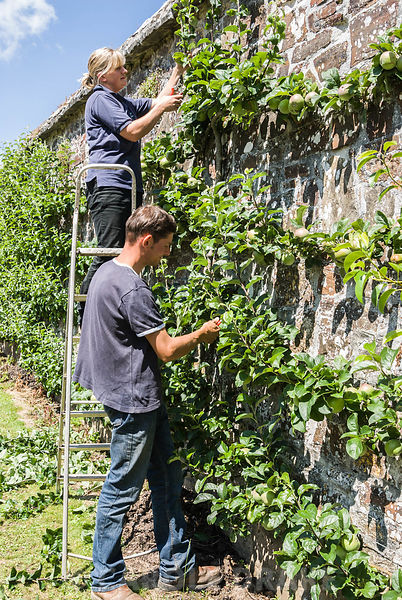 Heather Alford, head gardener, with husband Nigel, pruning the espaliered fruit on the exterior wall of the garden. Clovelly Court, Bideford, Devon, UK