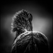 Dense fur for the winter, Wild horse of Iceland 2015 © Laurent Baheux