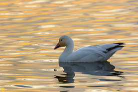 Snow Goose Floating #6