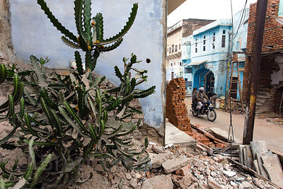 Cactus on a street in Badi Basti, Pushkar, Rajasthan, India
