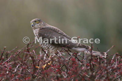 Juvenile male Eurasian Sparrowhawk (Accipiter nisus) standing in the top of a very prickly garden shrub, Lyth Valley, Cumbria, England