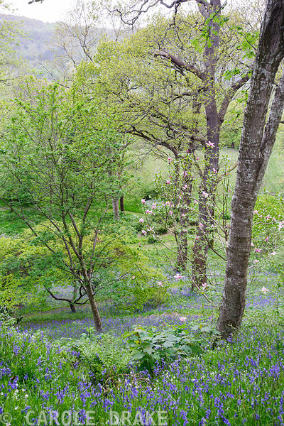 View down into the wooded Dell through the trunks of mature oaks, across magnolias and sheets of bluebells and starry white greater stitchwort.