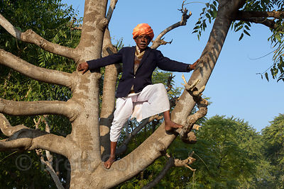 A man cuts goat fodder in a tree, Majhewla village, Rajasthan, India