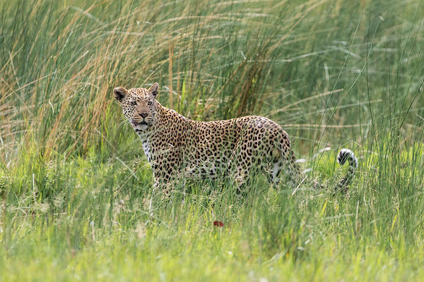 Male Leopard against Marsh Grasses