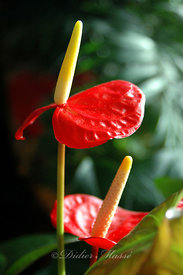 Anthurium Ennery Val d'Oise 12/04