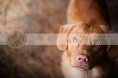 pretty red dog staring upward with minimal background