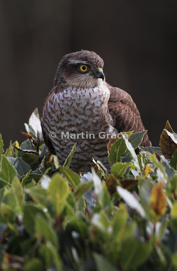 Juvenile male Eurasian Sparrowhawk (Accipiter nisus) in the top of a garden Bay Laurel (Laurus nobilis), Lake District National Park, Cumbria, England