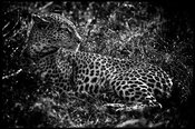6444-Leopard-The_fineness_of_the_feline_Laurent_Baheux