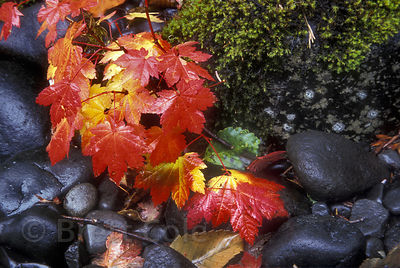Vine maple (Acer circinatum) turning bright red in Autumn, North Fork Sol Duc Creek, Olympic Rainforest, Washington
